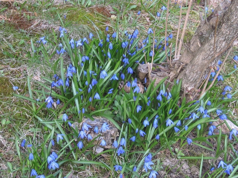 Wood squill (Scilla siberica) at the Tidebrook estate