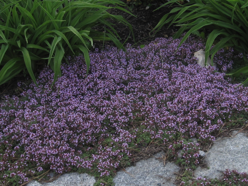 Thyme used for erosion control on driveway edge