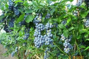 JewelBlueberry